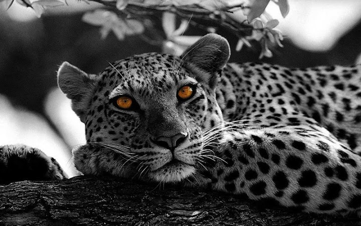 Snow Leopard Sounds Free Download - elensweetmood12 ...